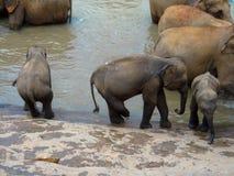 Elefanter, medan bada Royaltyfri Foto