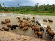 Elefanter, medan bada Royaltyfria Foton