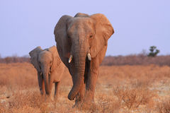 elefanter namibia Arkivbilder