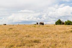 Elefanter och andra djur i savannah på africa Royaltyfri Foto