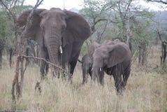 Elefanter och behandla som ett barn Royaltyfri Fotografi