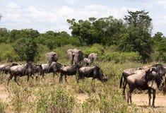 Elefanter och gnu En blandad flock av herbivor i savannahen av Afrika kenya mara masai arkivbilder