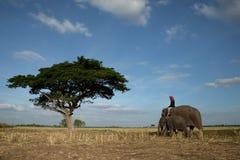 Elefanter och mahout arkivbild