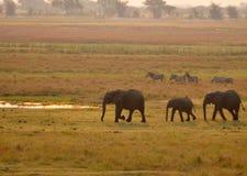 Elefanter och sebror royaltyfri fotografi