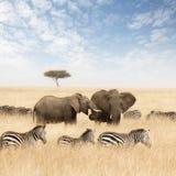 Elefanter och sebror i grässlättarna av masaien Mara arkivfoto