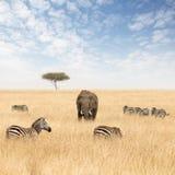 Elefanter och sebror i grässlättarna av masaien Mara arkivbilder