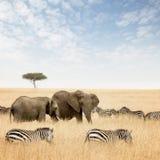 Elefanter och sebror i masaien Mara arkivfoton