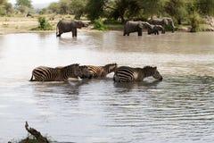Elefanter och sebror i vattnet royaltyfri foto