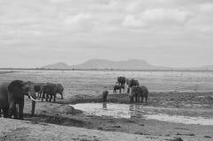 Elefanter på öknen Arkivfoton
