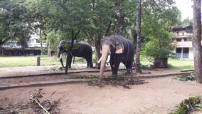 Elefanter på den Guruvayur templet Kerala arkivfoto