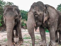 Elefanter på den Patara elefantlantgården, Chiang Mai, Thailand royaltyfria foton