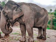 Elefanter på den Patara elefantlantgården, Chiang Mai, Thailand fotografering för bildbyråer