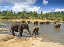 Elefanter på det Pinnawala barnhemmet, Sri Lanka Arkivfoton