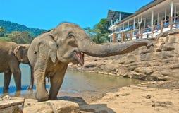 Elefanter på det Pinnawala elefantbarnhemmet, Sri Lanka Fotografering för Bildbyråer
