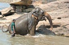 Elefanter på det Pinnawala elefantbarnhemmet, Sri Lanka Royaltyfri Bild