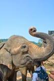 Elefanter på det Pinnawala elefantbarnhemmet, Sri Lanka Royaltyfri Fotografi