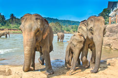 Elefanter på det Pinnawala elefantbarnhemmet, Sri Lanka Arkivbilder