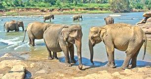 Elefanter på det Pinnawala elefantbarnhemmet, Sri Lanka Royaltyfri Foto