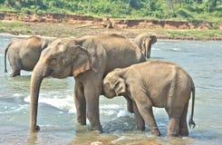 Elefanter på det Pinnawala elefantbarnhemmet, Sri Lanka Royaltyfria Bilder