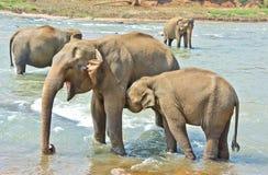 Elefanter på det Pinnawala elefantbarnhemmet, Sri Lanka Arkivfoton