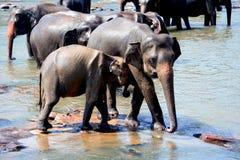 Elefanter på det Pinnawala elefantbarnhemmet, Sri Lanka Royaltyfria Foton