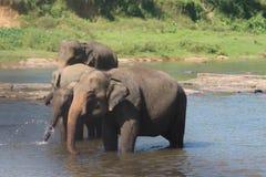 Elefanter på en brunnsort Arkivfoton