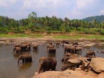 Elefanter på floden Royaltyfri Foto