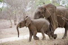 Elefanter på flyttningen arkivbilder