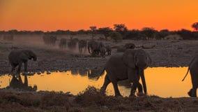 Elefanter på Okaukuejo Waterhole, Etosha, Namibia royaltyfri bild