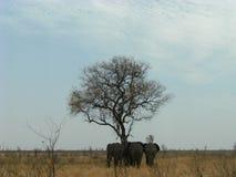 3 elefanter på Shingwedzi Arkivfoto