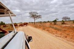 Elefanter på vägen Fotografering för Bildbyråer