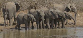 Elefanter på waterhole Arkivfoton