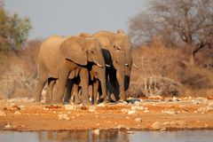 Elefanter på waterhole, Etosha Arkivfoton