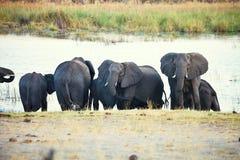 Elefanter på waterhole, i den Bwabwata nationalparken, Namibia Royaltyfri Bild
