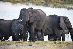 Elefanter på waterhole, i den Bwabwata nationalparken, Namibia Royaltyfria Bilder
