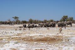 Elefanter på waterhole i Etosha Arkivbild