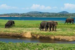 Elefanter på Waterholen av den Minneriya nationalparken i Sri Lanka Arkivbilder