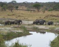 elefanter samlas att gå Royaltyfria Foton
