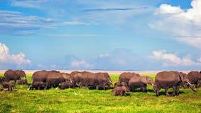 Elefanter samlas på savanna. Safari i Amboseli, Kenya, Afrika Royaltyfri Bild