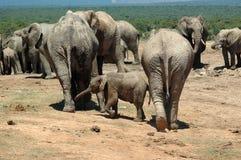 elefanter samlas wild Royaltyfria Foton