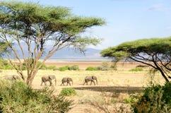 Elefanter sjöManyara nationalpark Royaltyfri Foto