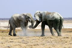 Elefanter slåss i etoshapannan - Namibia africa fotografering för bildbyråer