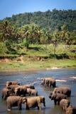 Elefanter som badar i floden, Sri Lanka Arkivbild