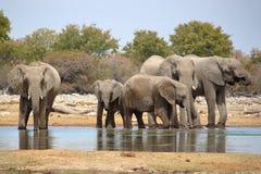 Elefanter som bevattnar i Etosha, Namibia Fotografering för Bildbyråer