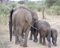 Elefanter som bort går Fotografering för Bildbyråer