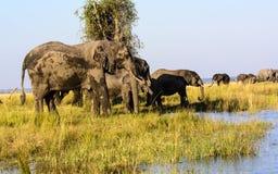 Elefanter som dricker från den Chobe floden Fotografering för Bildbyråer