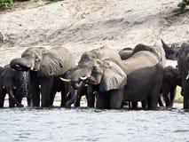 Elefanter som dricker i floden Arkivbild