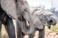 Elefanter som dricker i Krugeren arkivbilder