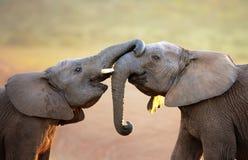 Elefanter som försiktigt trycker på varje annan (hälsningen) Fotografering för Bildbyråer