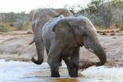 Elefanter som får leriga Fotografering för Bildbyråer